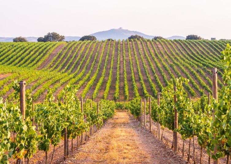 rows of grape vines in vineyards