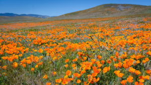 A Life Lesson from The California Super Bloom!